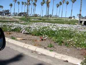 Freeway Daisies
