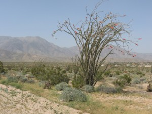 Ocotillo, Fouqueria splendens, in bloom