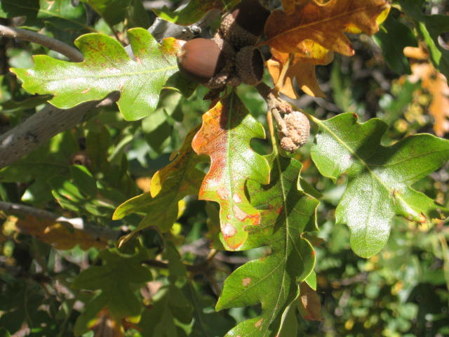 Acorns and Oaks